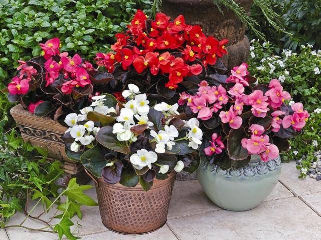 Бегонии вечноцветущие в домашних условиях