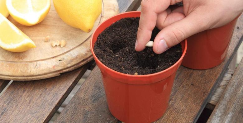Как вырастить лимон из косточки? - Полезные советы