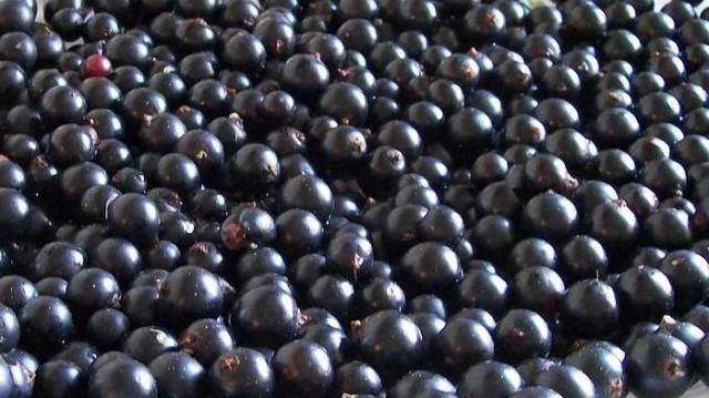 10 полезных свойств черной смородины новые фото