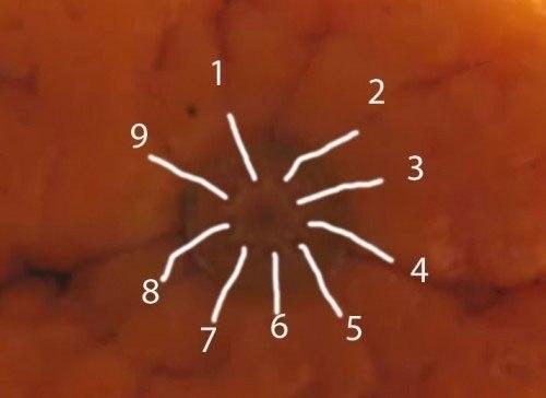 Как узнать сколько долек в апельсине?