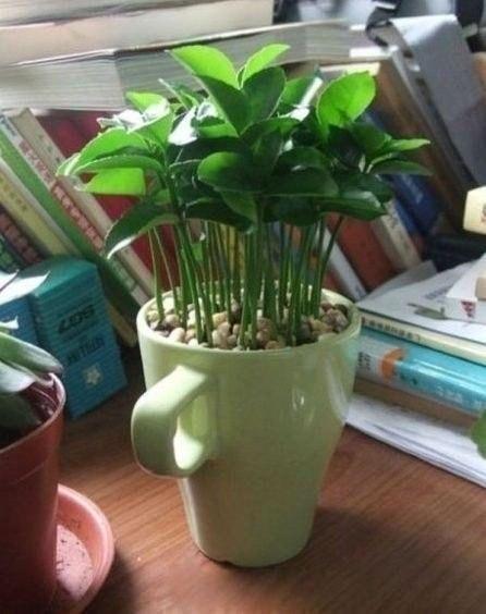 Как вырастить лимонное дерево в чашке