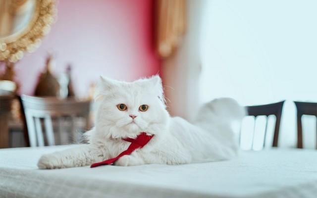 Как отучить кошку лазить по столам: несколько советов 0