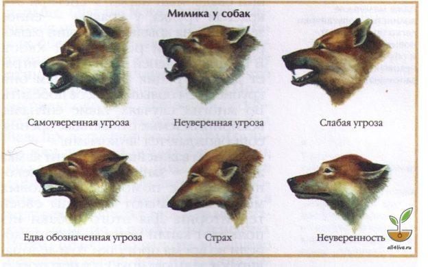 Как понять собачий язык без переводчика 1
