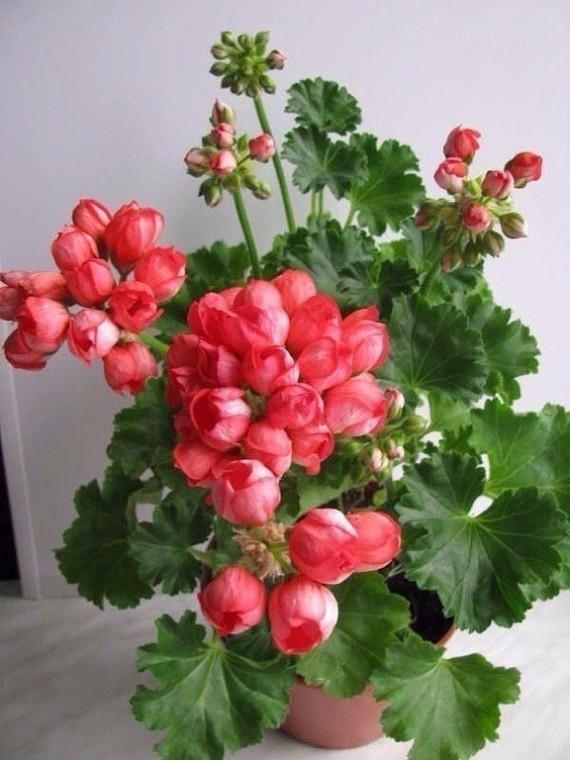 Волшебная подкормка для непрерывного и шикарного цветения герани 1