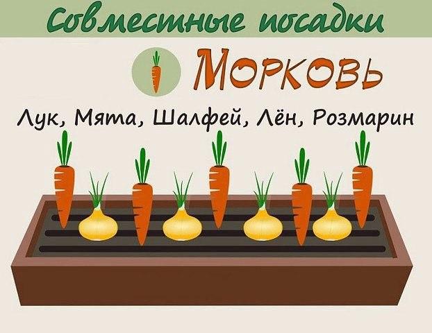 Взаимовыгодное соседство овощей 4