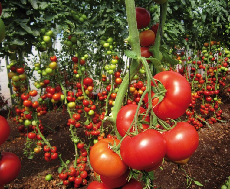 Хитрости ухода за томатами 0