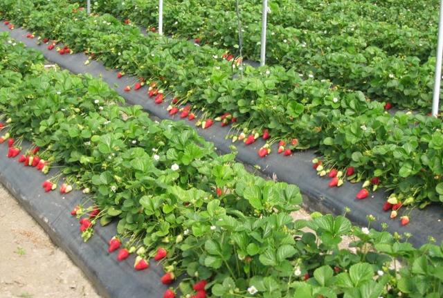 Самое важное о мульчирующей пленка для огородных культур