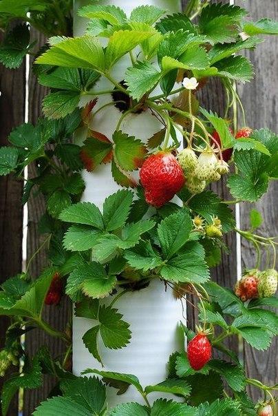 Вертикальный способ выращивания клубники 1