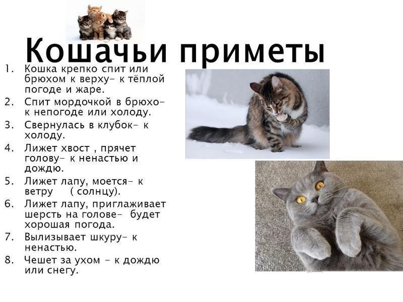 Как определить погоду по поведению кошки 2