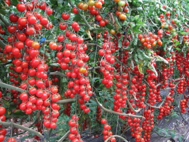 Йод как волшебный помощник в сборе богатого урожая томатов 1