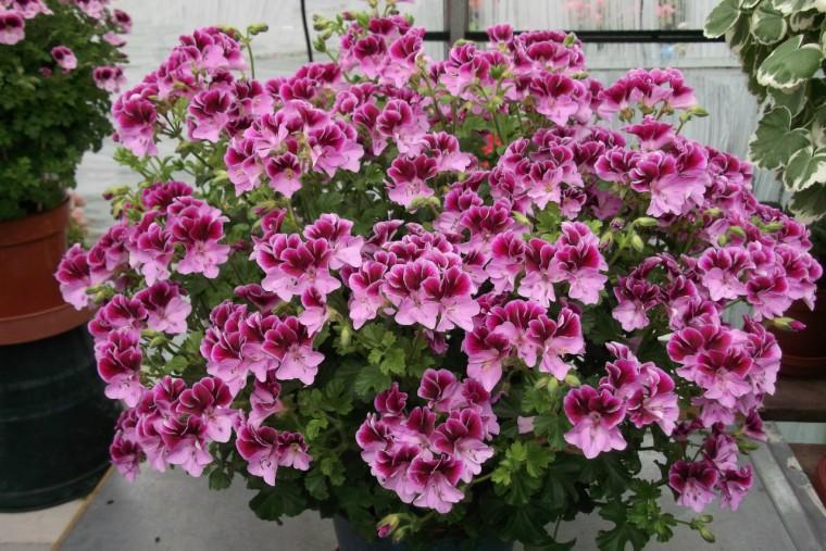 Волшебная подкормка для непрерывного и шикарного цветения герани 0