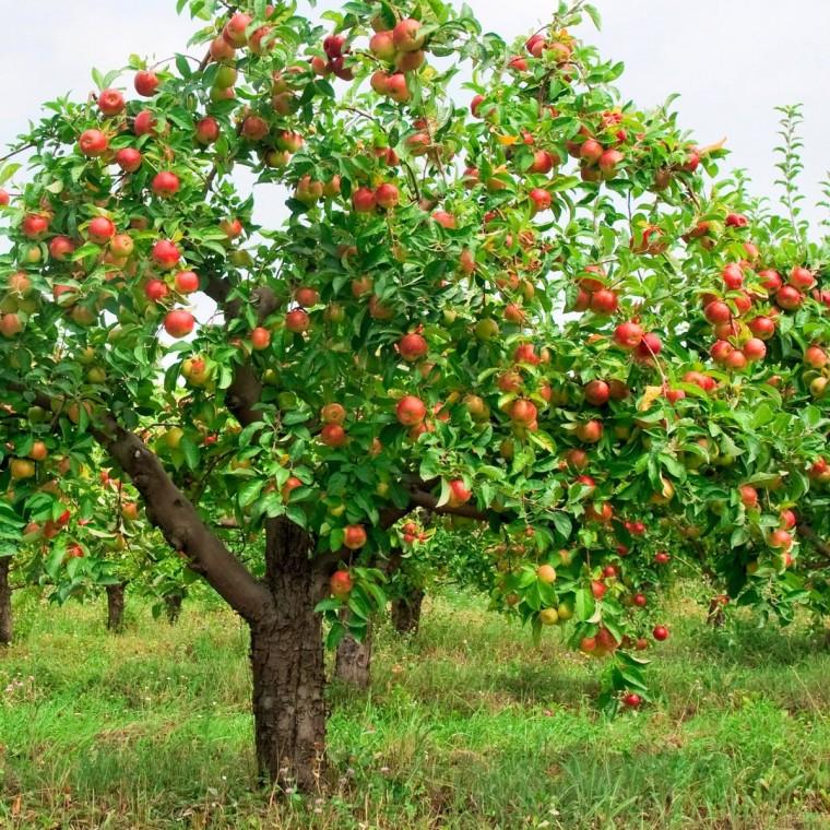 Рецепт садовой косметики для плодовых деревьев 0