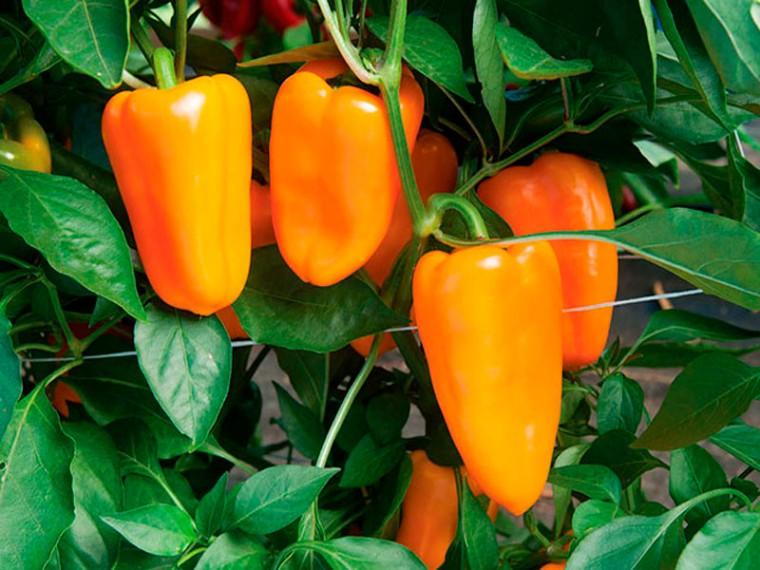 Как «заставить» перец завязывать новые плоды 0