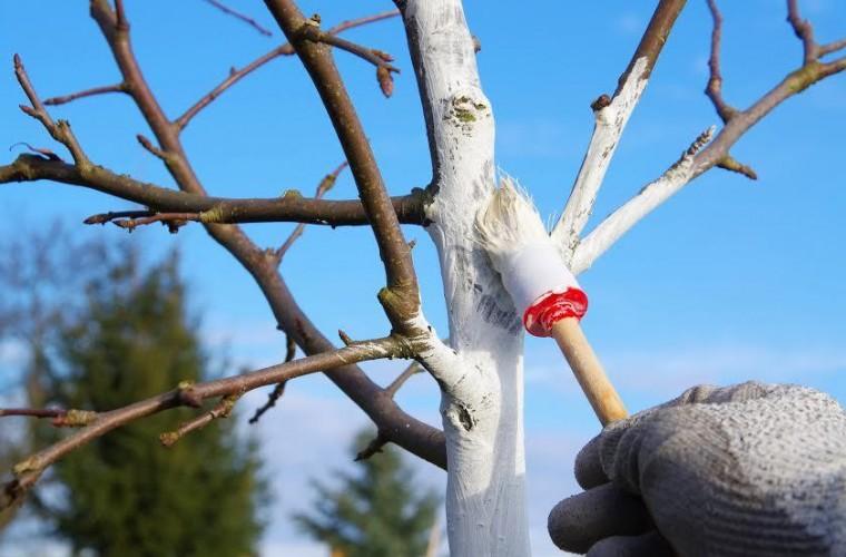 Как позаботиться  о деревьях во дворе и на даче: рецепт идеальной побелки 0