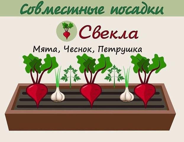Взаимовыгодное соседство овощей 7