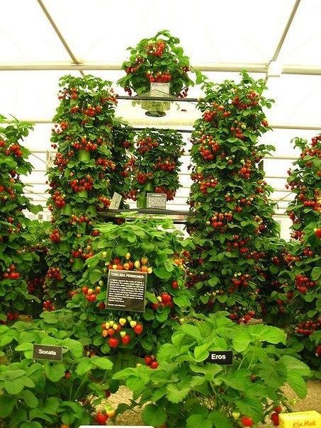 Вертикальный способ выращивания клубники 0