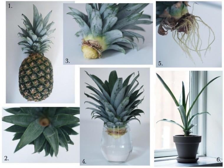 Как вырастить ананас дома 3