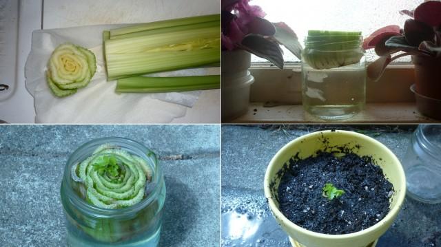 Как вырастить сельдерей из черешка от купленного в магазине 0