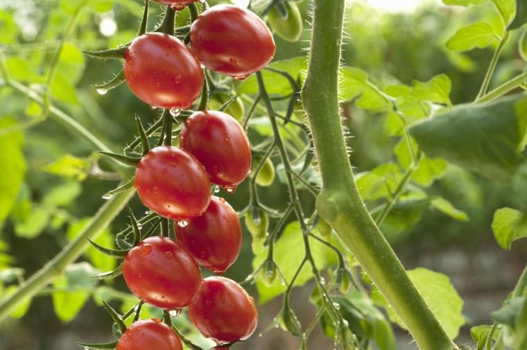 Йод как волшебный помощник в сборе богатого урожая томатов 0