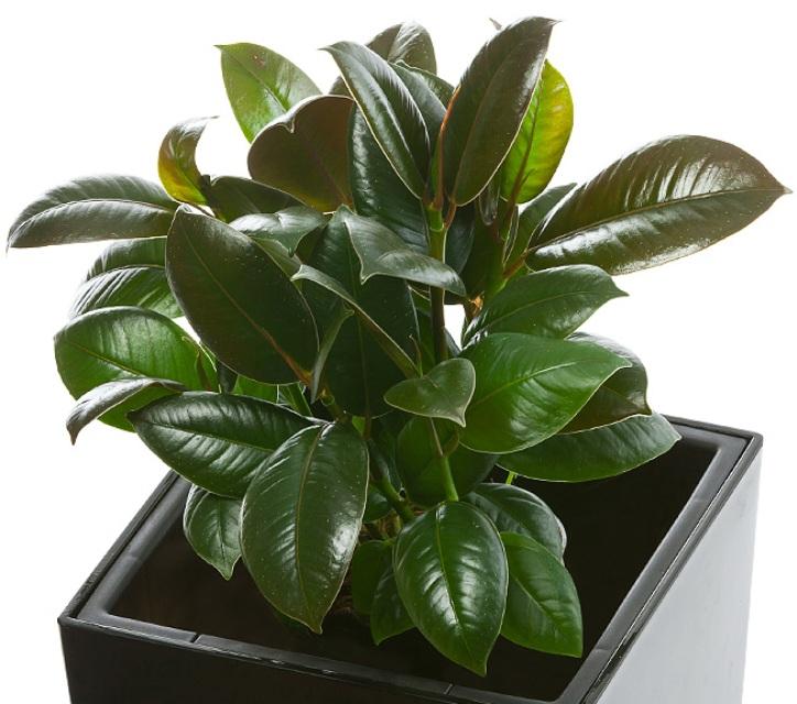 Растения - чистильщики воздуха дома 0