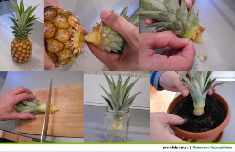 Как вырастить ананас дома 2