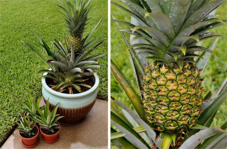 Как вырастить ананас дома 4