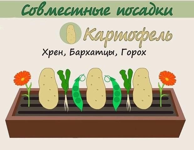 Взаимовыгодное соседство овощей 1