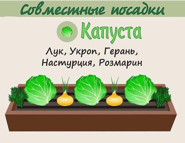Взаимовыгодное соседство овощей 5