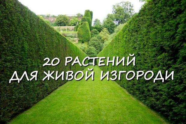 20 растений, из которых лучше всего делать живые изгороди. 0