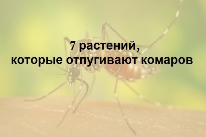 7 растений, которые отгоняют комаров на ура. 0