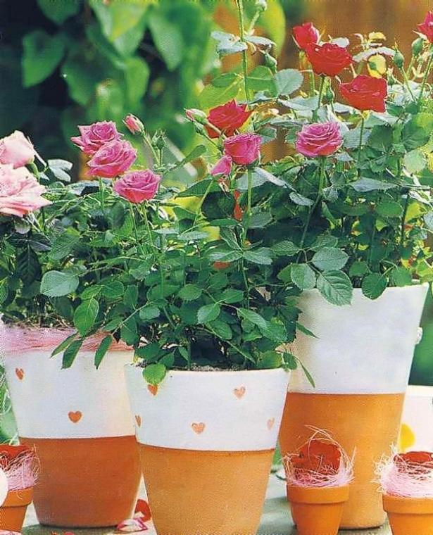 Как вырастить розу из срезанного цветка 1